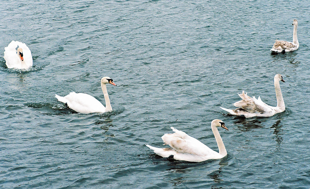 Above: Swan family captured with the 90mm Summicron