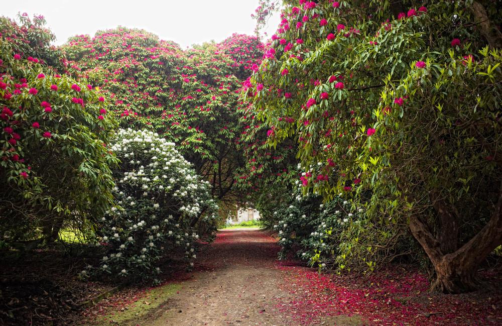 Kilmacurragh Arboretum May 2016 11 Rhododendrons 1  (1 of 1).jpg