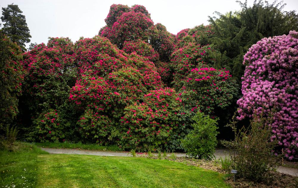 Kilmacurragh Arboretum May 2016 12 Rhododendrons 2  (1 of 1).jpg