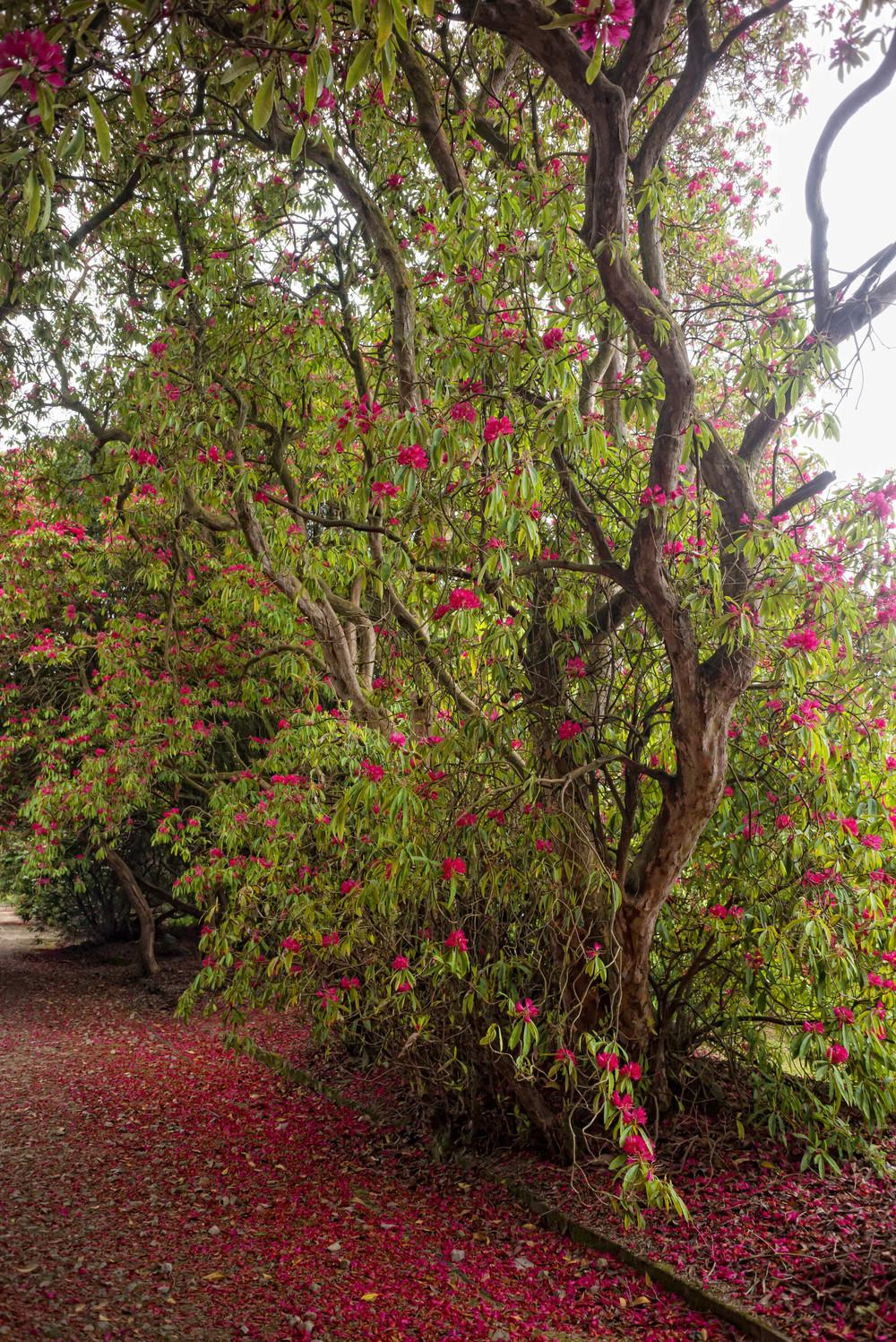 Kilmacurragh Arboretum May 2016 13 Rhododendrons 3  (1 of 1).jpg