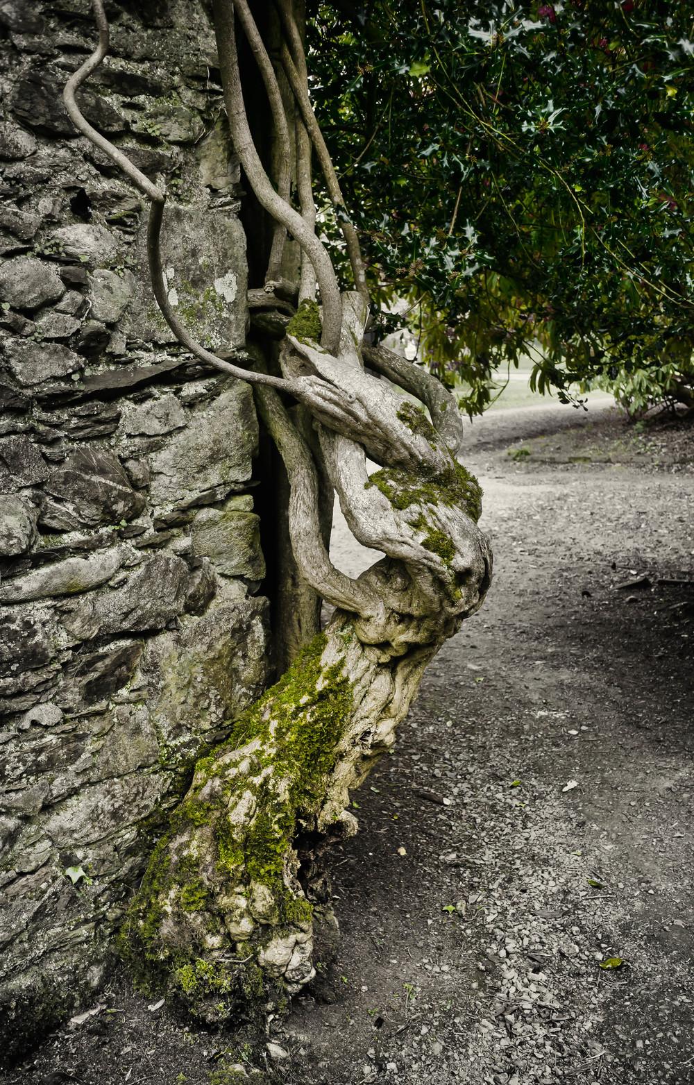 Kilmacurragh Arboretum May 2016 14 Tree and Wall  (1 of 1).jpg