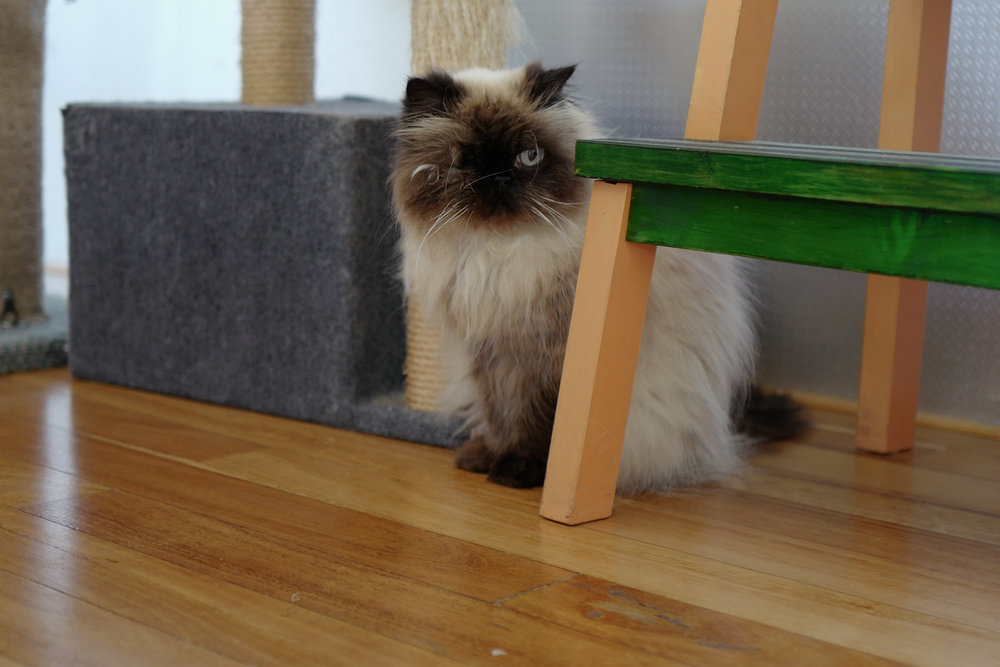 Zoe the Himalayan takes a one-eyed dim view of the Quid on the block.