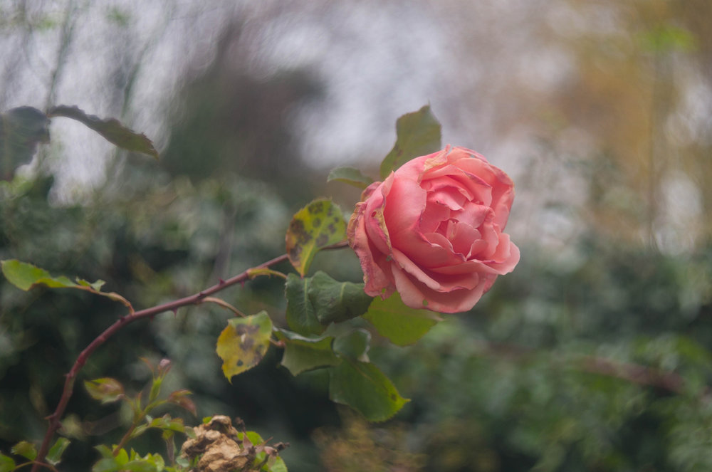 The last rose of summer through 83-year-old optics