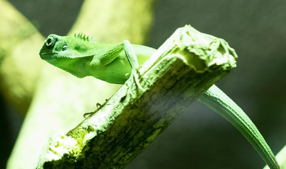 24 Dublin Zoo January 2017 Green Crested Lizard (1 of 1).jpg