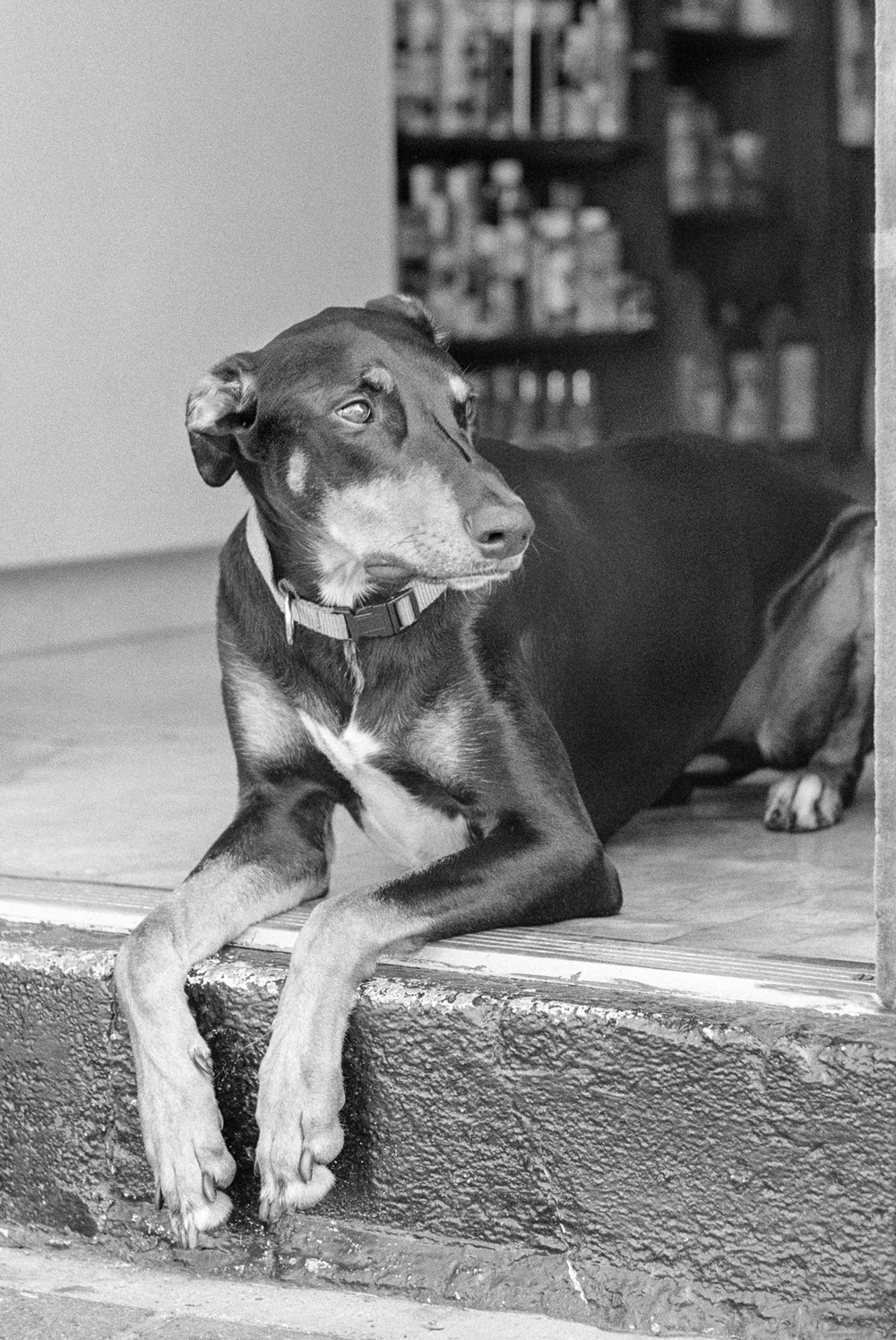 Doorstep Doberman