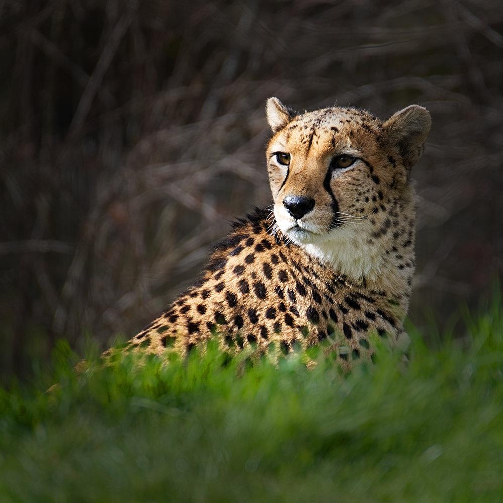 Cheetah (not Jaguar as originally captioned), Chester Zoo