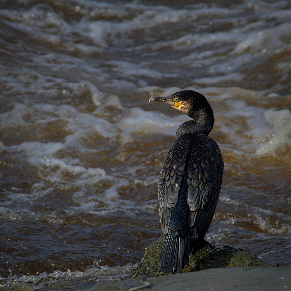 Wary Cormorant
