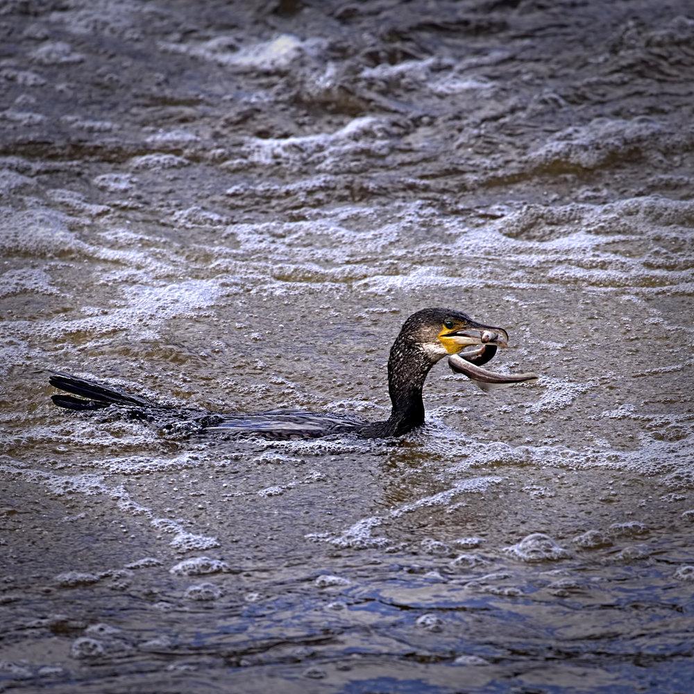 Gotcha! Cormorant