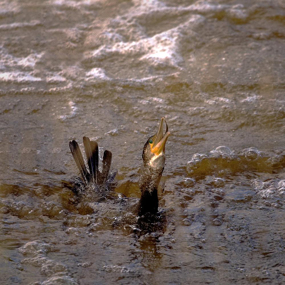 Gone! Cormorant