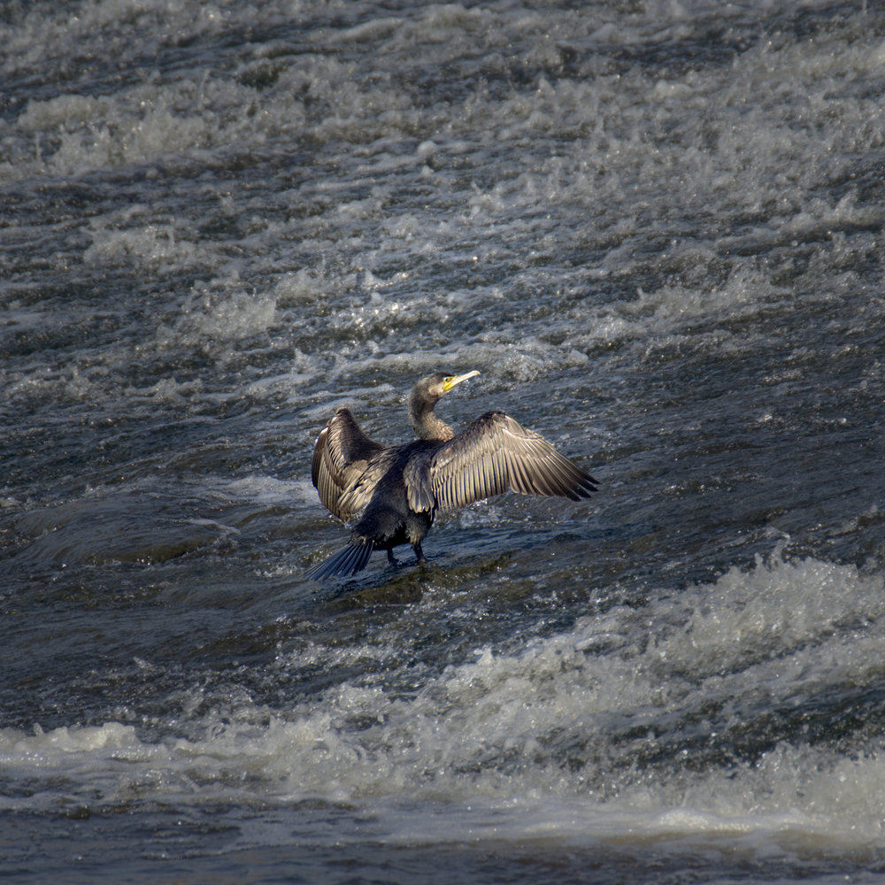 Water with Cormorant