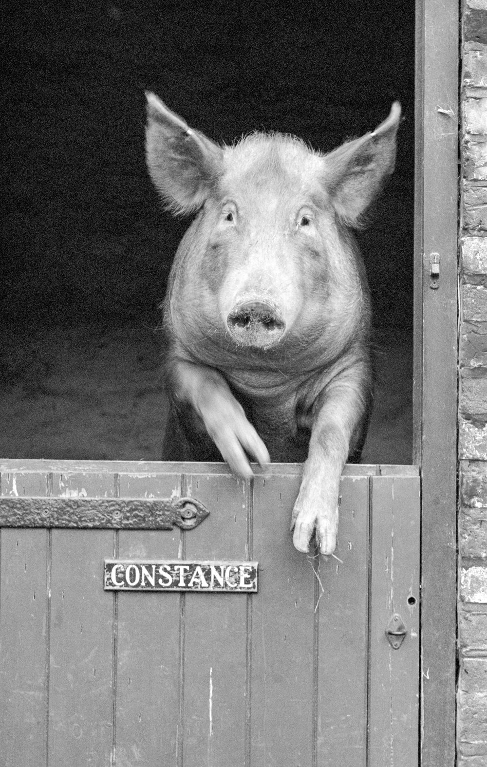 Constance the Pig.jpg