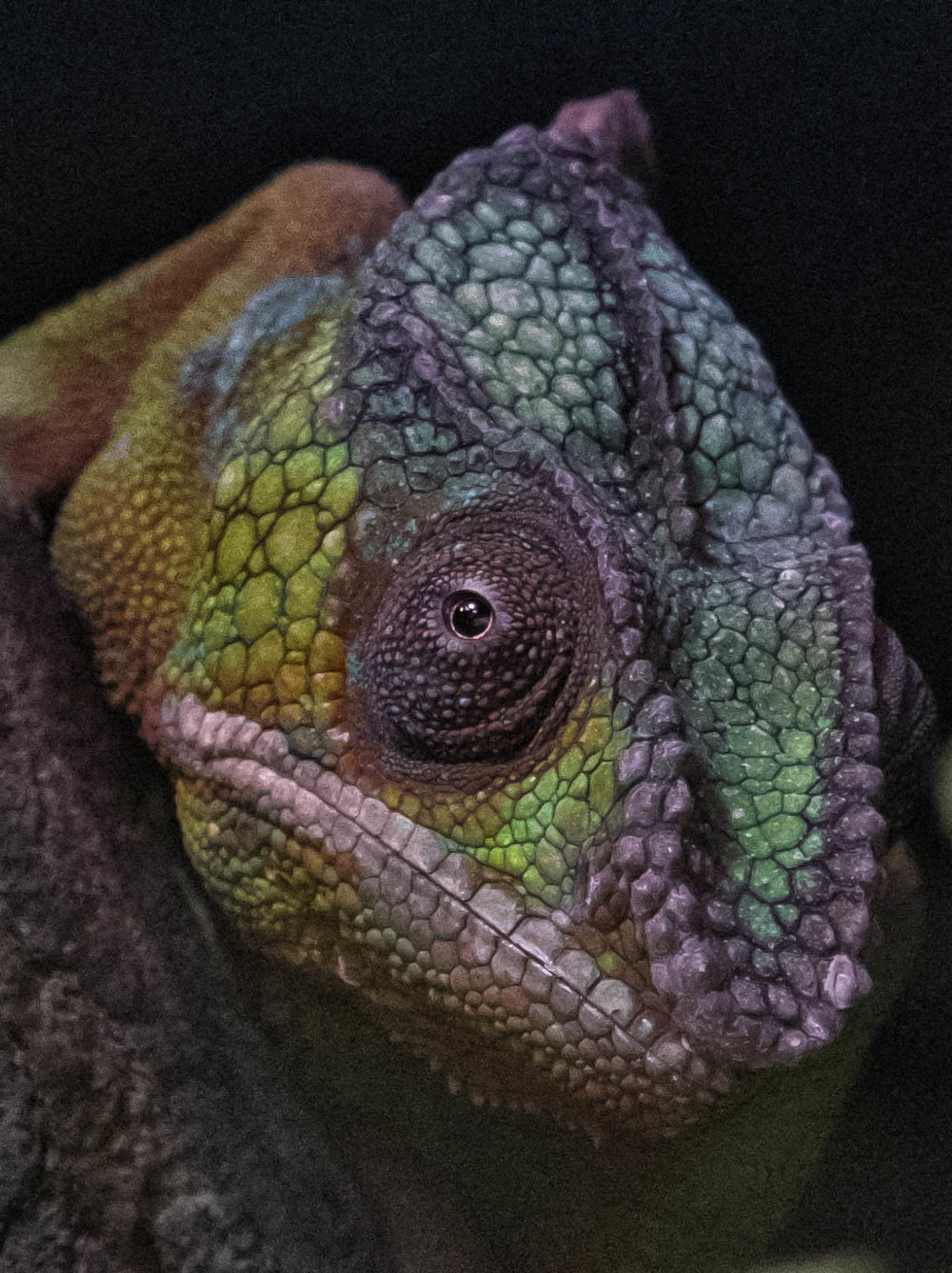 1 January 2018 Dublin Zoo Panther Chameleon-.jpg