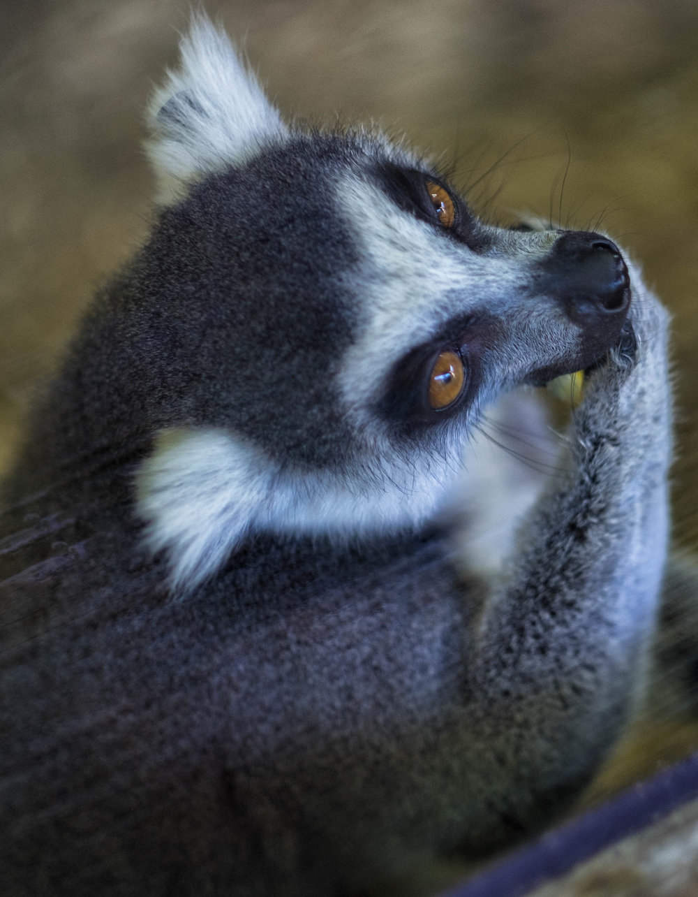 6 January 2018 Dublin Zoo Lemur 2-.jpg