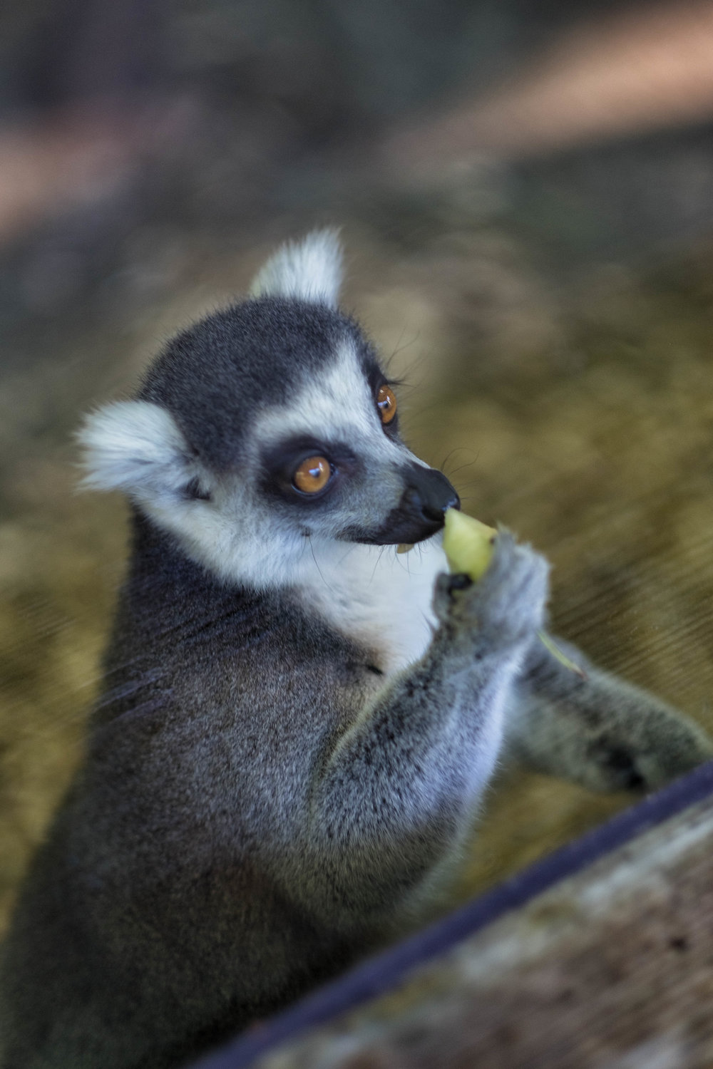 5 January 2018 Dublin Zoo Lemur 1-.jpg