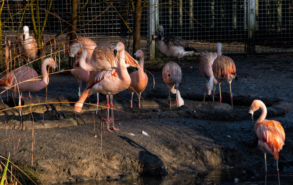 8 January 2018 Dublin Zoo Flamingos 2-.jpg