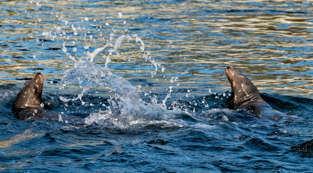 10 January 2018 Dublin Sea Lions 3-.jpg