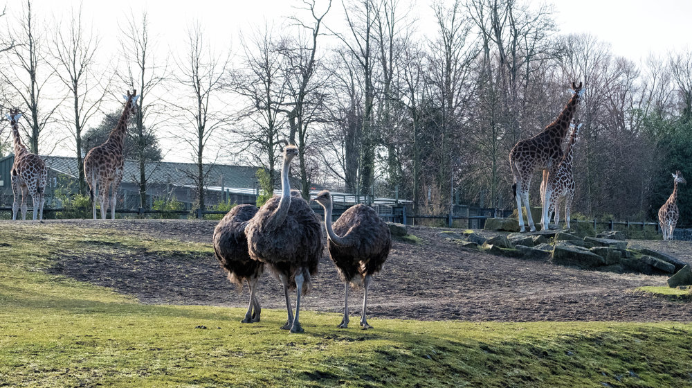 13 January 2018 Dublin Zoo Ostriches and Giraffes 1-.jpg