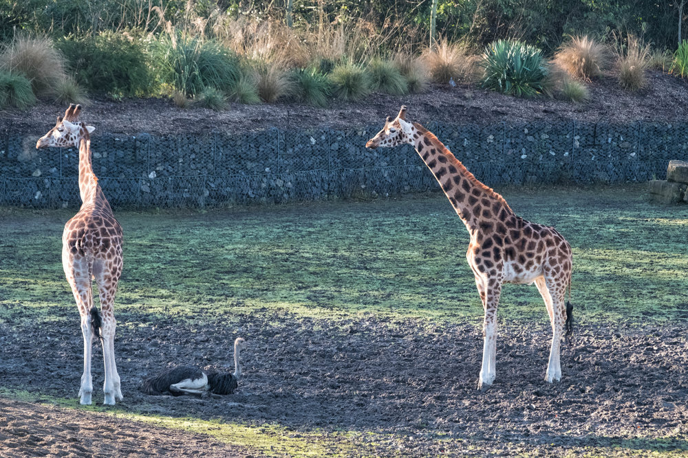 14 January 2018 Dublin Zoo Giraffes 3-.jpg