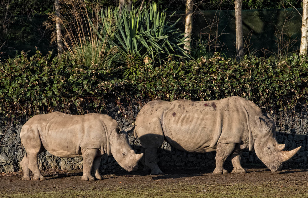 15 January 2018 Dublin Zoo Rhinoceros Family 1-.jpg