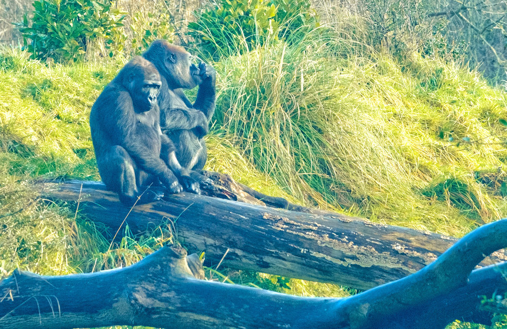 17 January 2018 Dublin Zoo Gorillas 2-.jpg