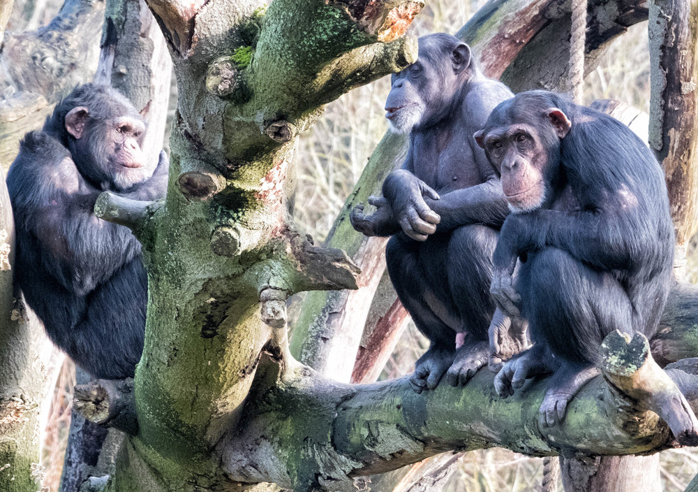 19 January 2018 Dublin Zoo Chimps 1-.jpg
