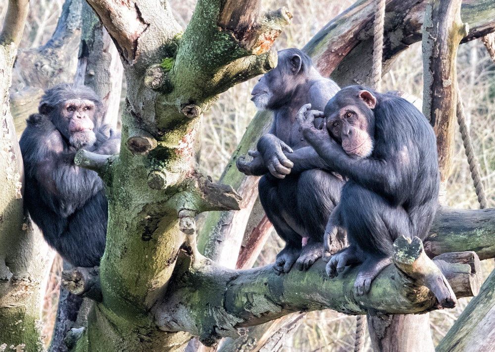 20 January 2018 Dublin Zoo Chimps 2-.jpg
