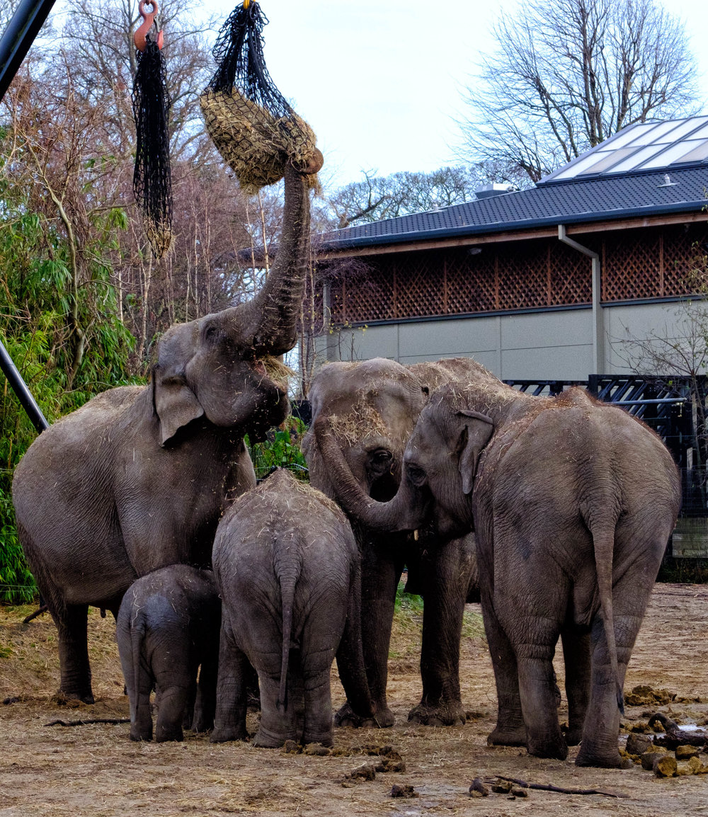 26 January 2018 Dublin Zoo Elephants 2-.jpg