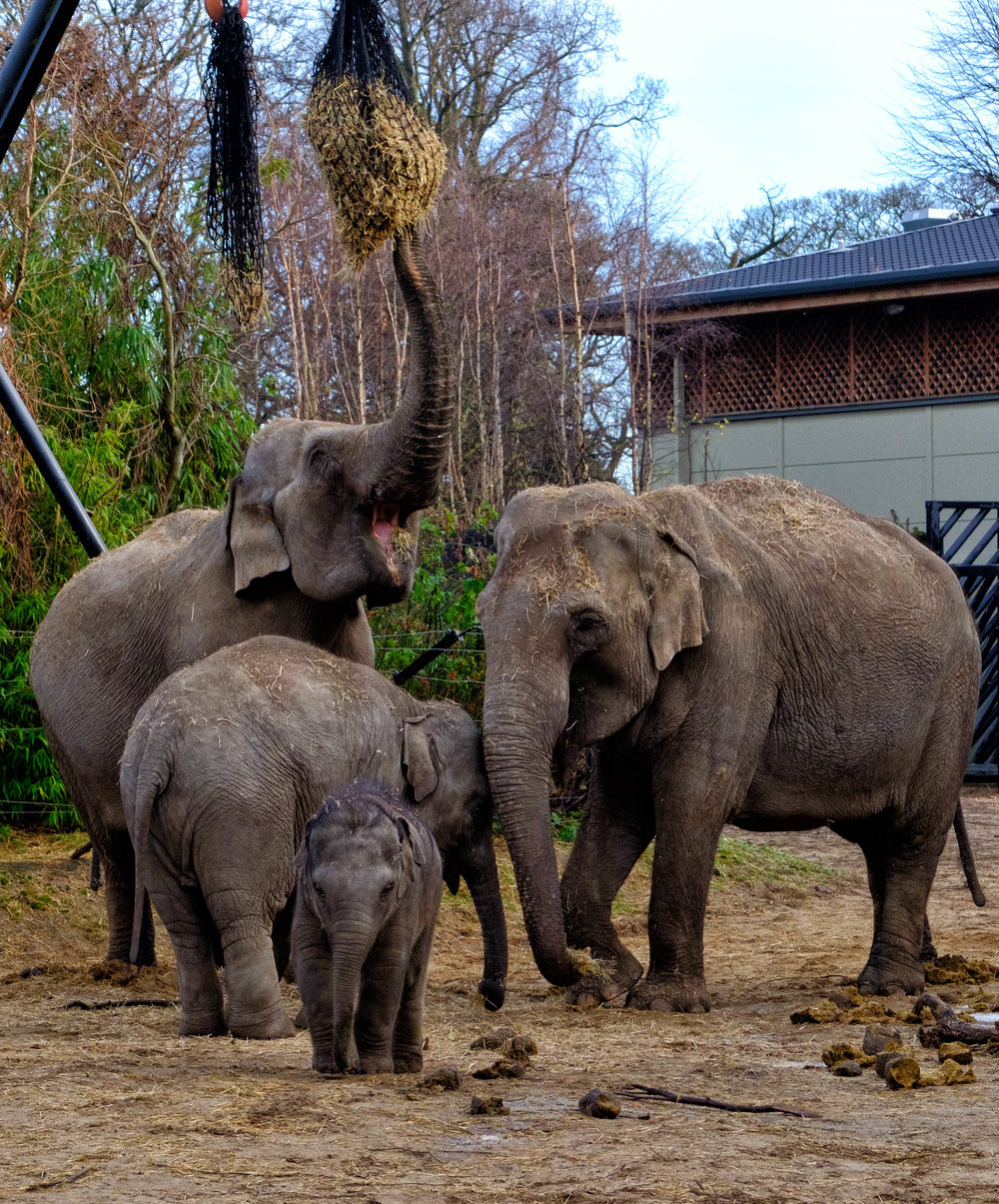 25 January 2018 Dublin Zoo Elephants 1-2.jpg