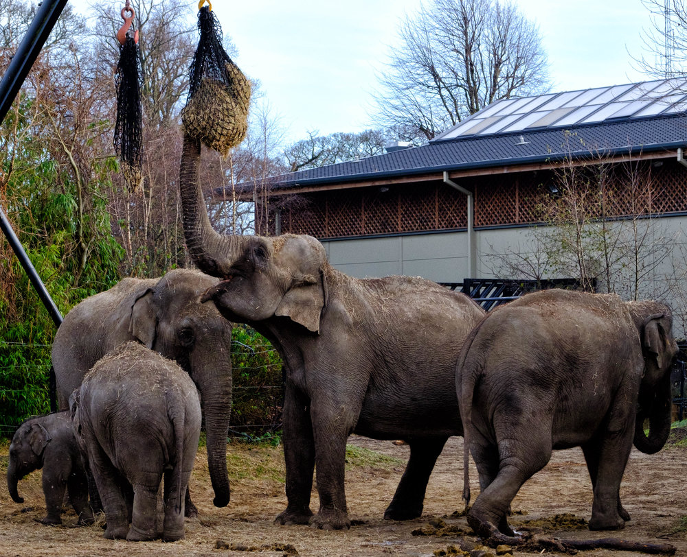 27 January 2018 Dublin Zoo Elephants 3-.jpg