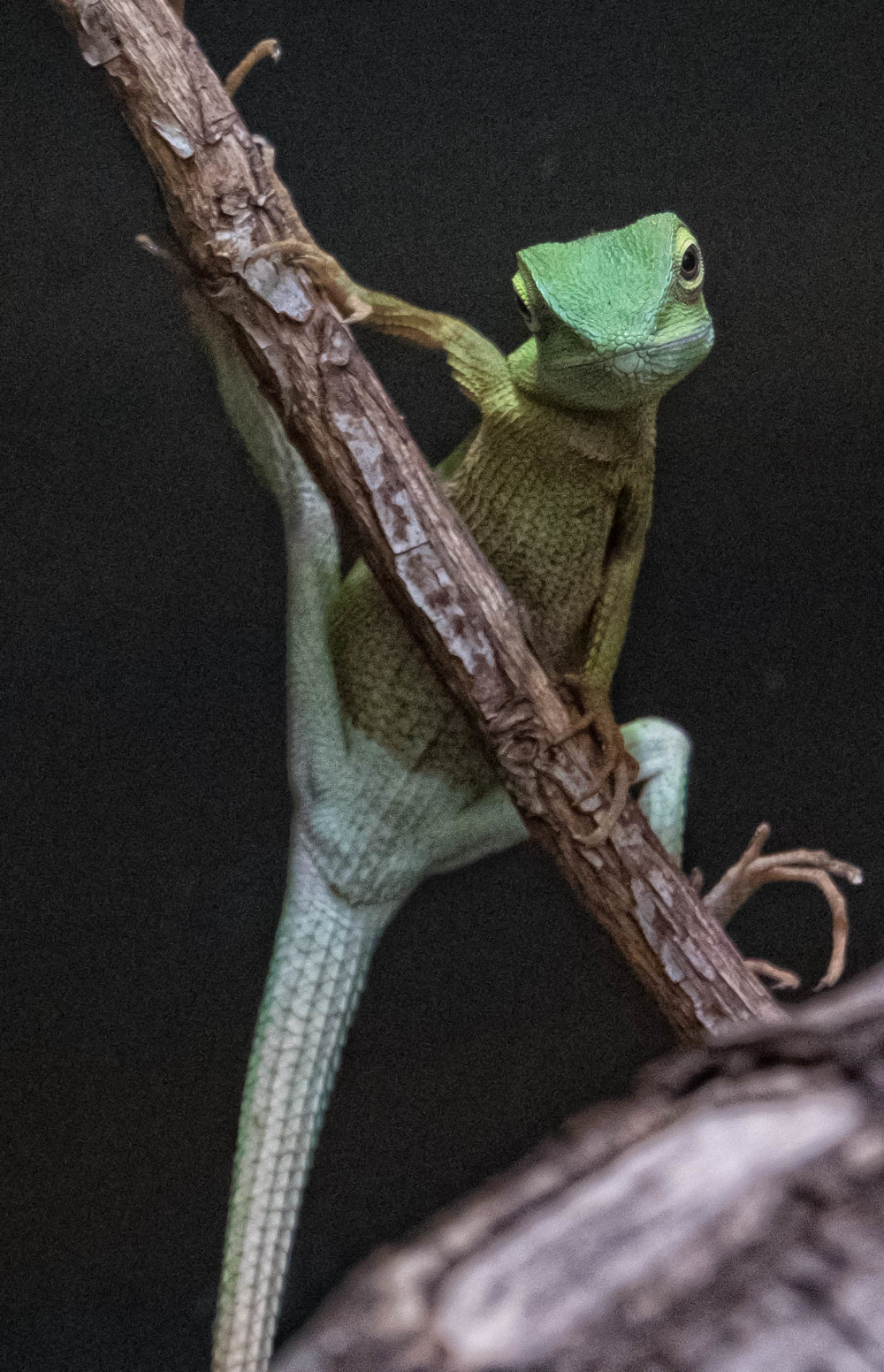 29 January 2018 Dublin Zoo Green Crested Lizard-.jpg