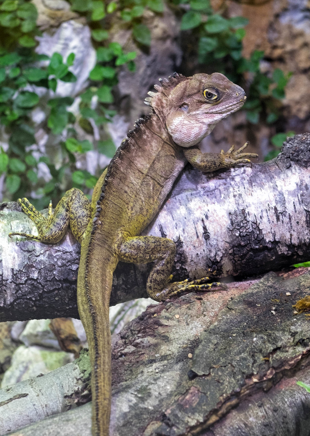 31 January 2018 Dublin Zoo Forest Dragon-.jpg