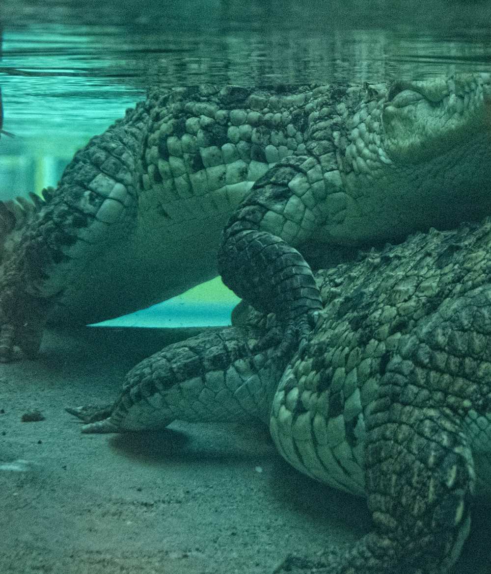 33 January 2018 Dublin Zoo Crocodiles Wrestling-.jpg