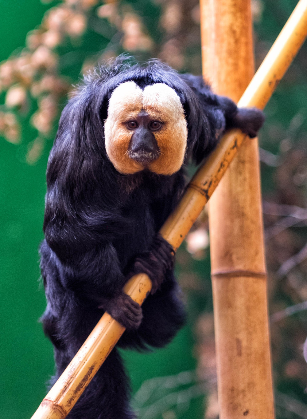 34 January 2018 Dublin Zoo White-Faced Saki 2-.jpg