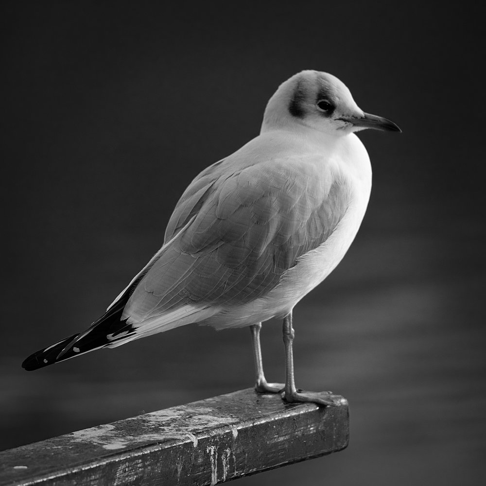 Gull: X-T2 and 100-400 f/4.5-5.6