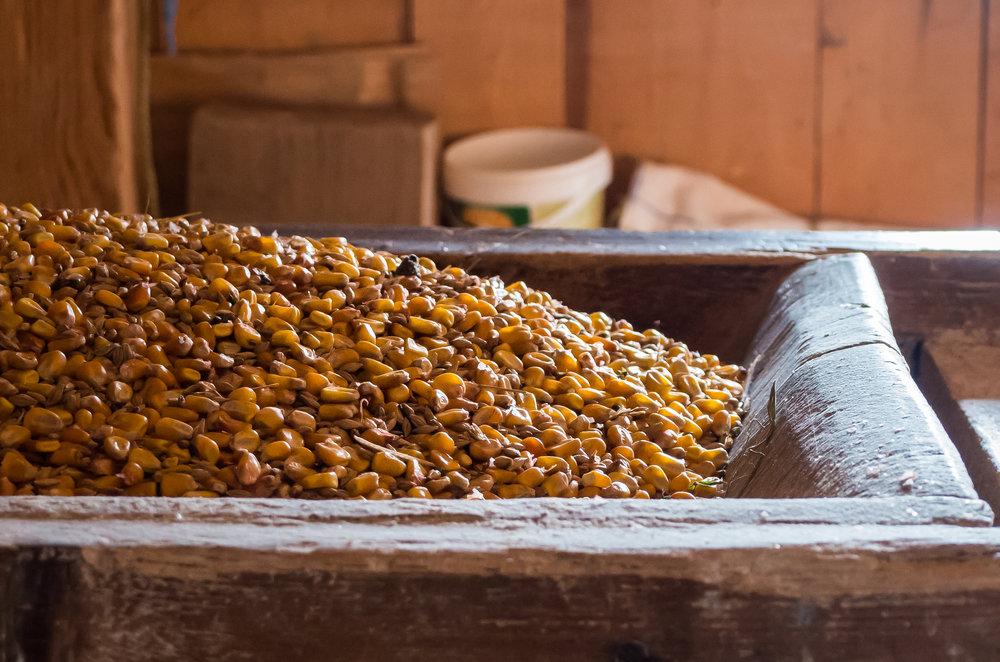 Kevin A Korana Mill 7 corn close up.jpg