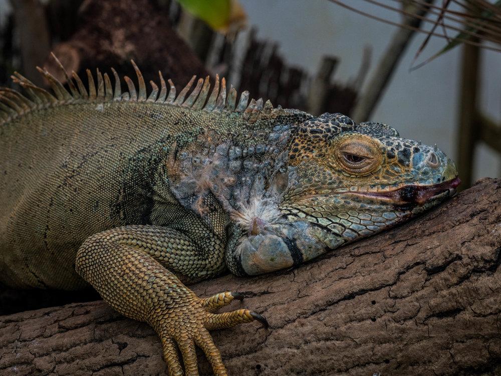 Sleepy iguana poses for the camera