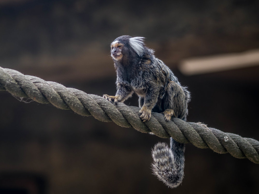 Monkey business as the marmoset does the balancing act