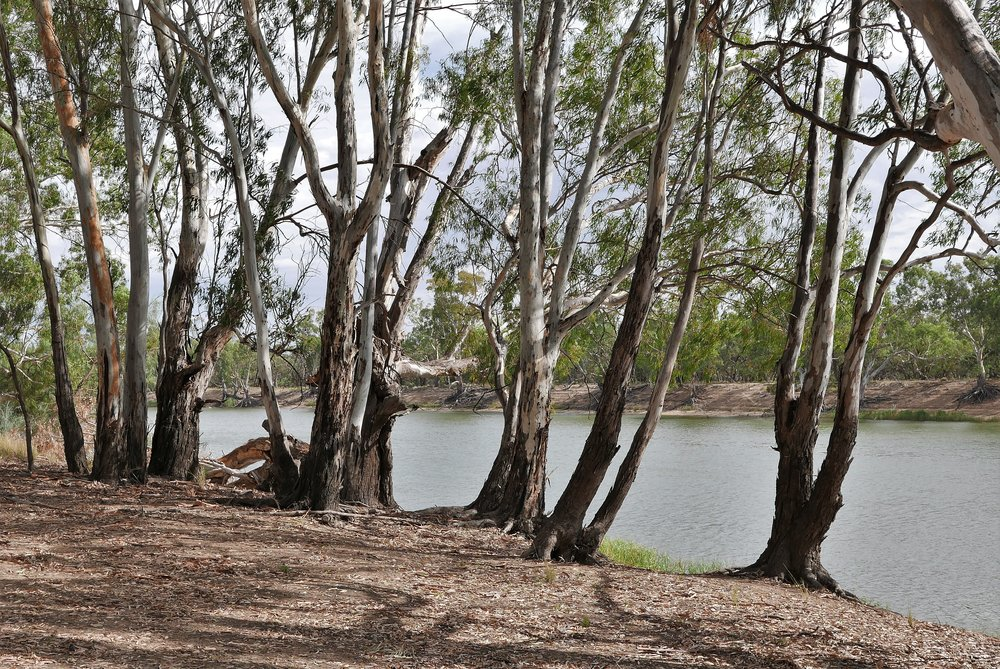 Younger River Red Gums, a few tens of years old, enjoy the water of the river