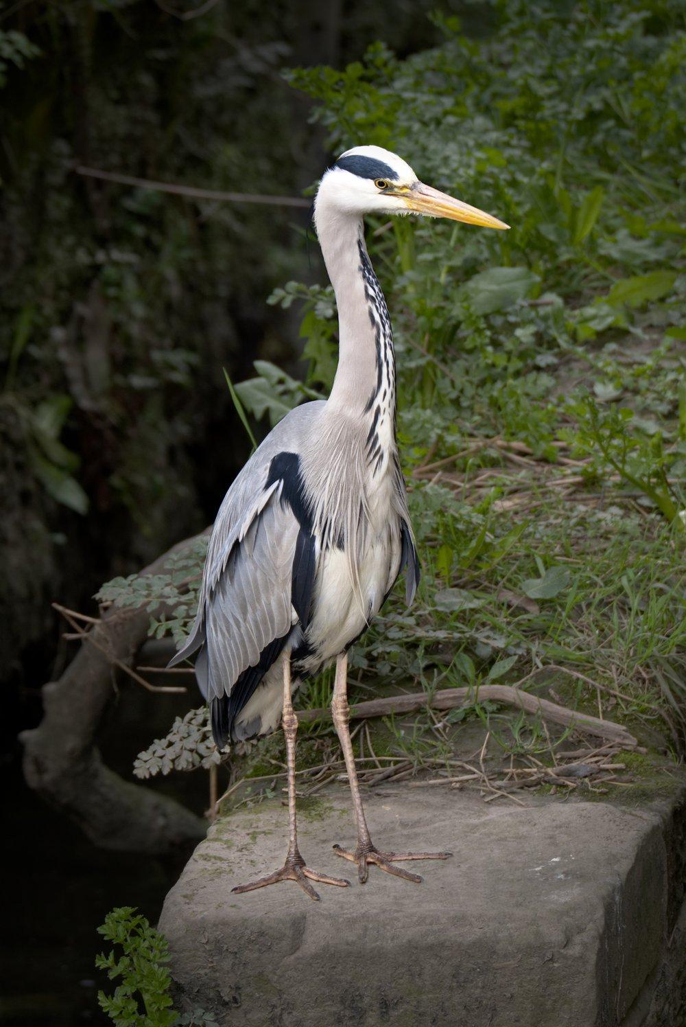 Heron 1 DSF2931.jpg
