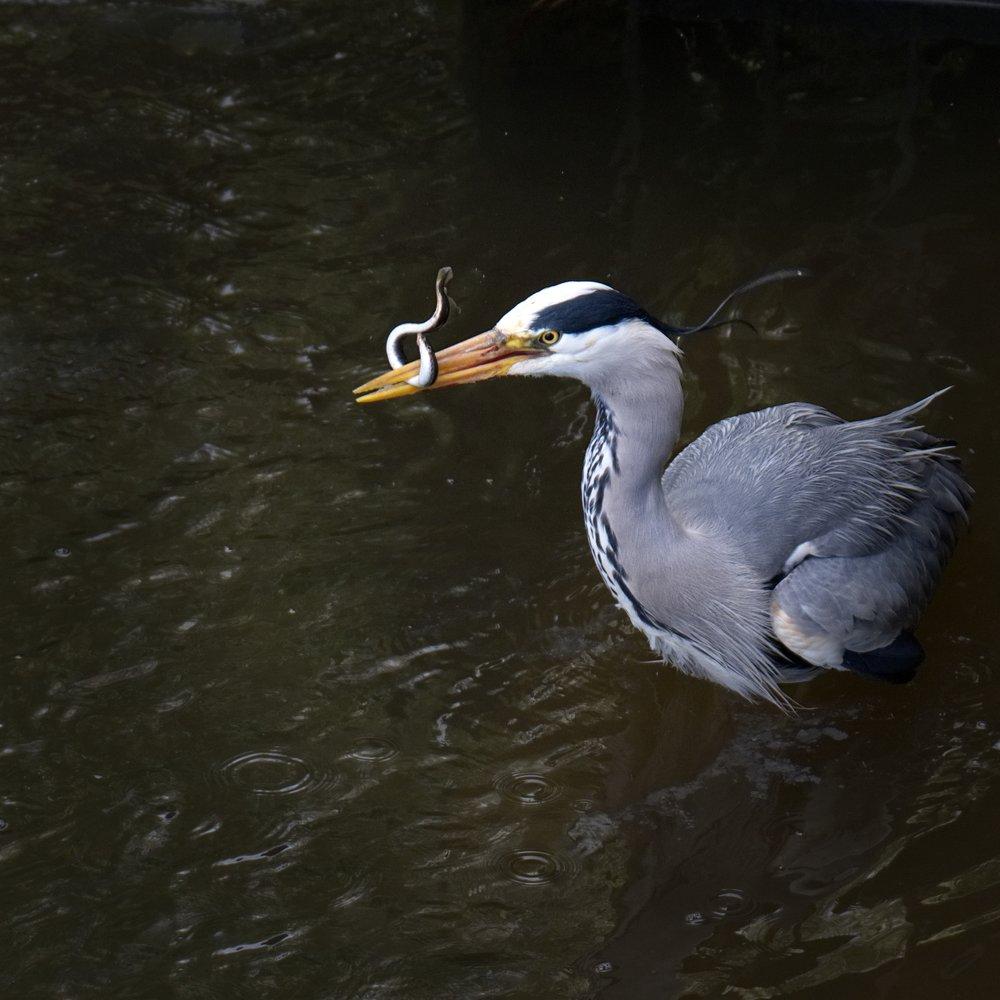 Heron 2 DSF3083.jpg