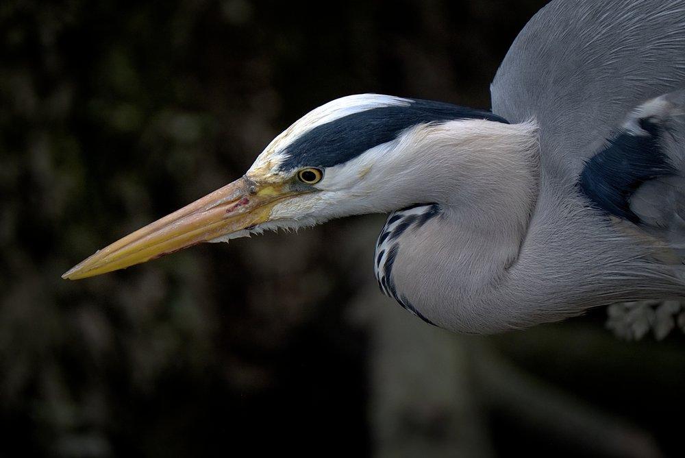 Heron 6 DSF3168.jpg