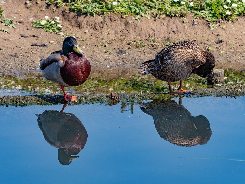 Narcissus ducks