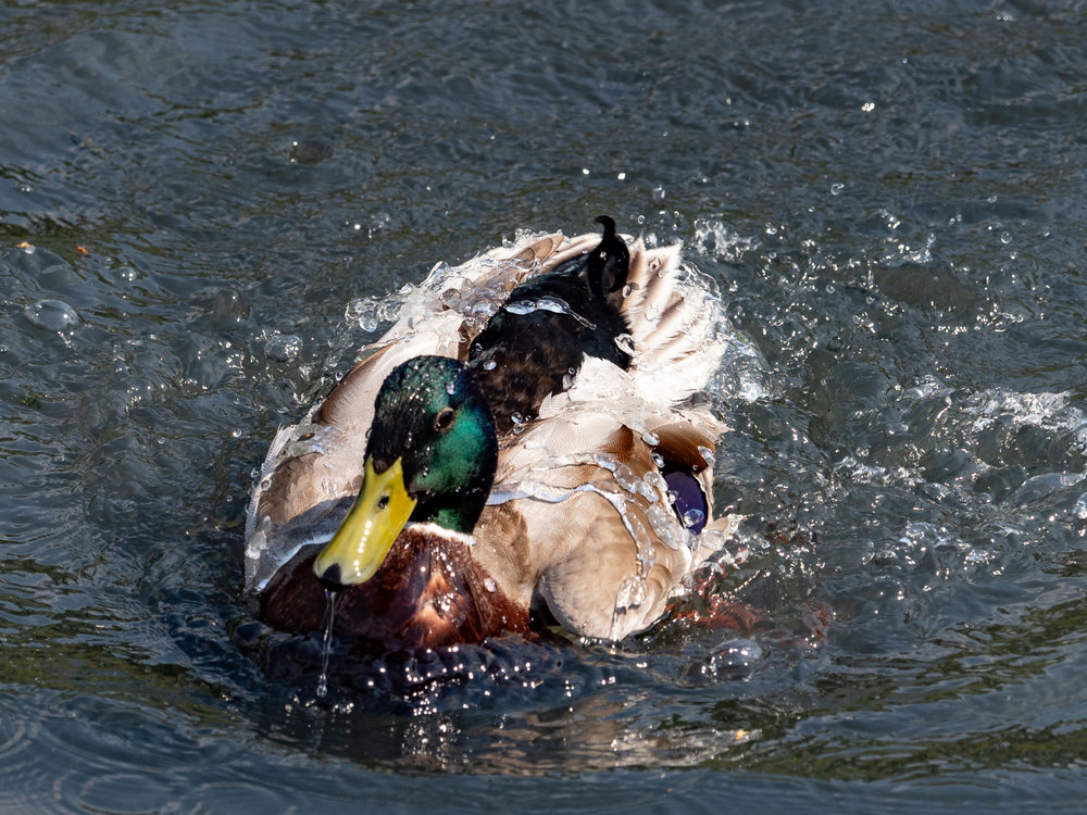 Water off a duck's back duck. Now I know where they got the saying from