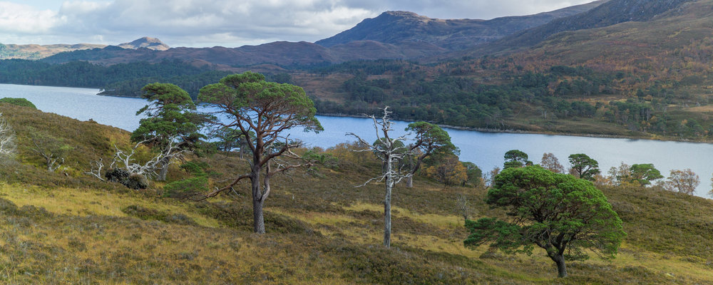 Loch Affric with granny pines in the foreground