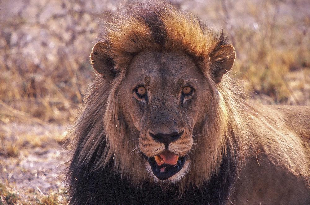 Old male lion.jpg