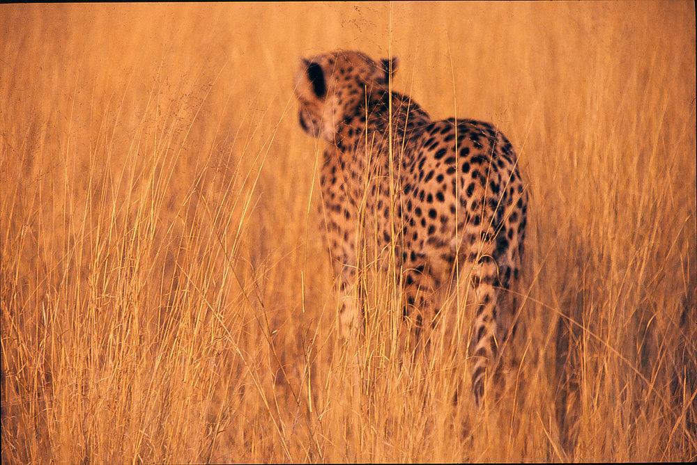 Cheetah3.jpg