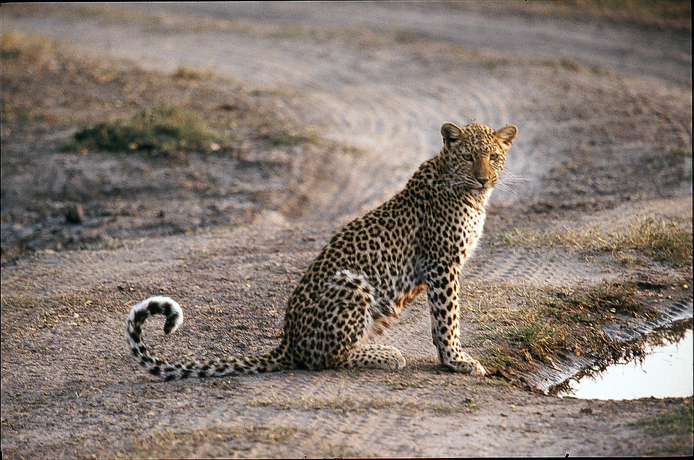 Young Leopard.jpg