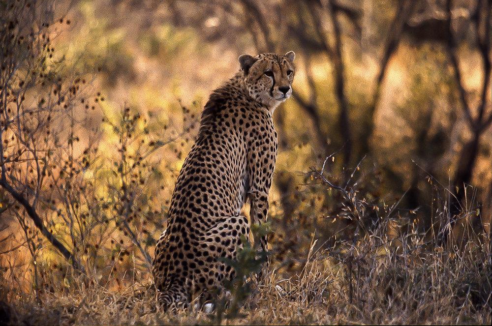 Missed cheetah.jpg