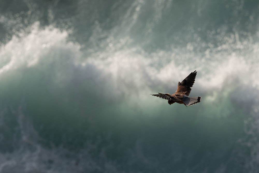 A kestrel hovering over surf in Cornwall (Leica SL with the 90-280 Vario Elmarit)
