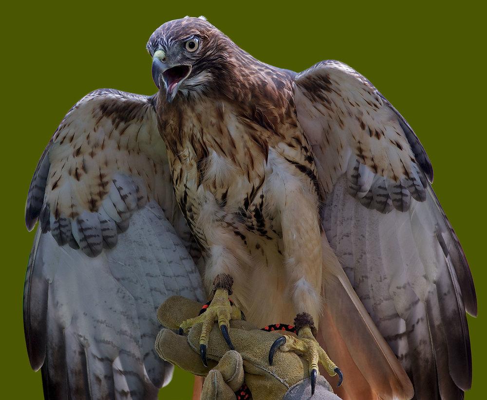 Hawk-example.jpg